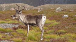 reindeer in the Cairngorms
