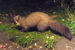 pine marten in the Cairngorms