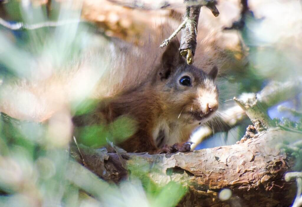 Red Squirrel amongst branches
