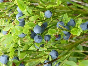 wild blueberries in the Cairngorms