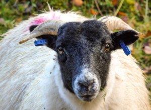Sheep Hebrides